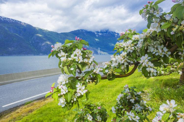 Hardanger blomster