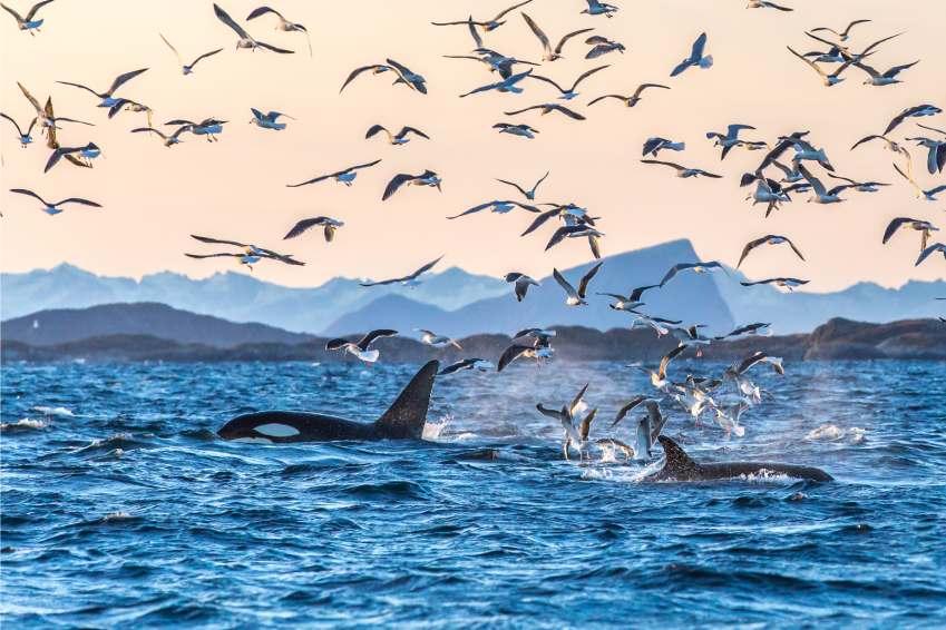 hvaler i Nord-Norge med mange fugler som flyr over dem i ettermiddagssolen